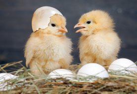 Tatsächlich haben Physiker das Rätsel um Hühner oder Eier gelöst