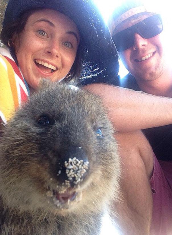 Quokka-Selfie-Der-Entzückende-Trend-in-Australien-9