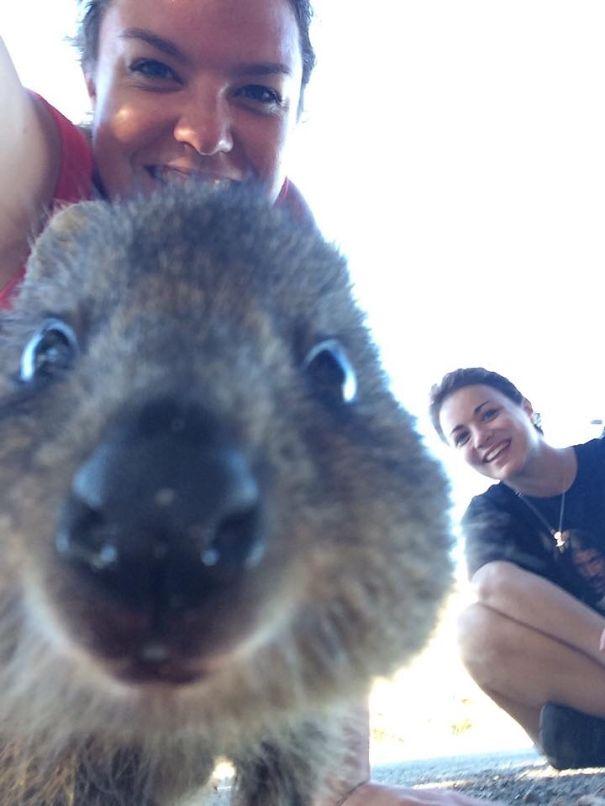 Quokka-Selfie-Der-Entzückende-Trend-in-Australien-18