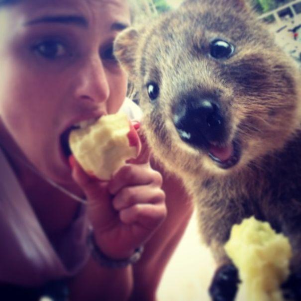 Quokka-Selfie-Der-Entzückende-Trend-in-Australien-3
