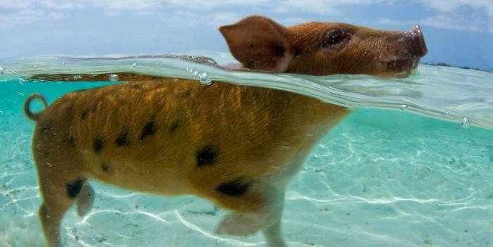 Bahamas Schweine Tot