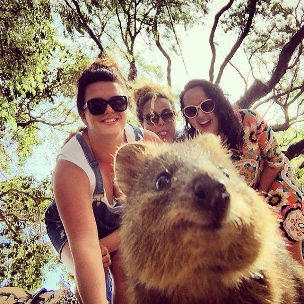 Quokka-Selfie-Der-Entzückende-Trend-in-Australien-13
