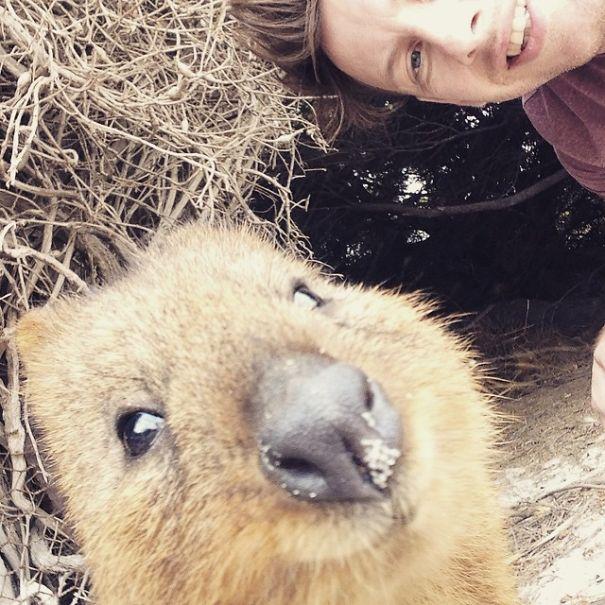 Quokka-Selfie-Der-Entzückende-Trend-in-Australien-22
