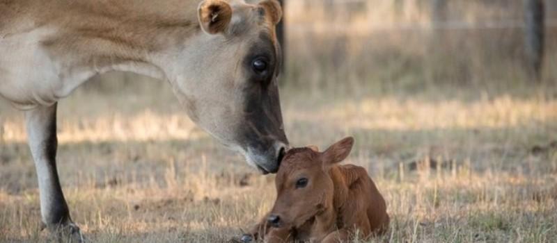 Eine berührende Geschichte: Eine Kuh hat ihr Kalb so versteckt, dass der Bauer es nicht finden konnte!